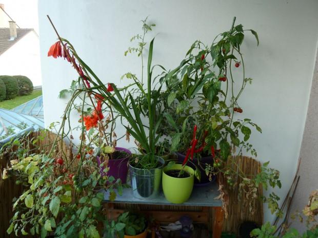 Chilis, Tomaten und Gladiolen
