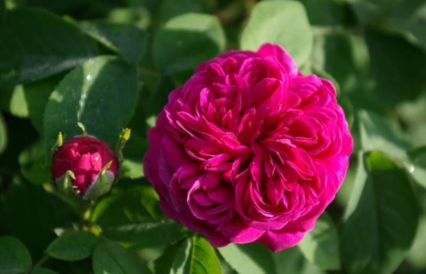 Rose de Resht Blüte