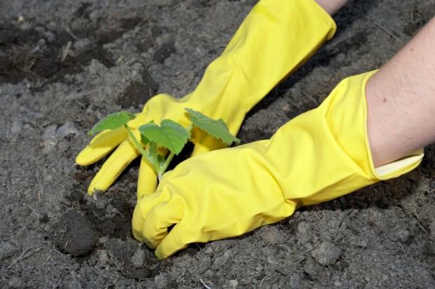 pflanze-wird-gepflanzt-gelbe-handschuhe