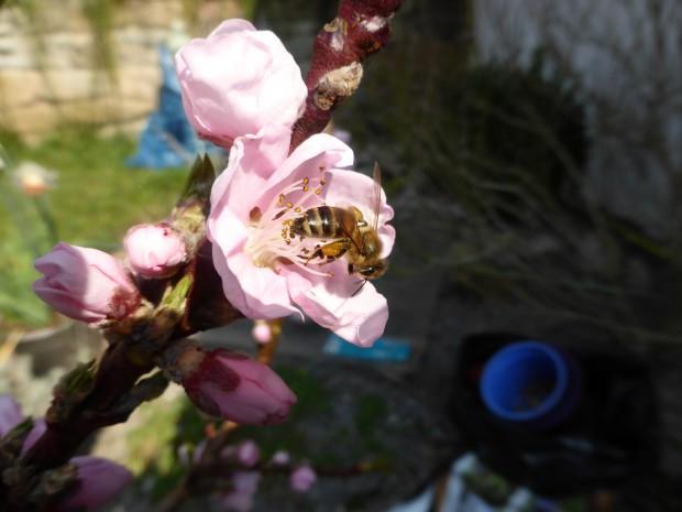 Biene auf Nektarine