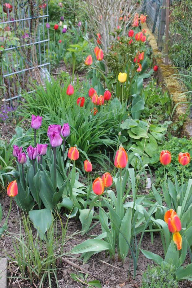 verschiedene Farben Tulpen