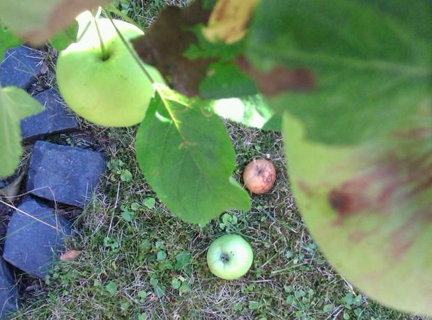 Grüne Äpfel aus dem Baum heraus fotografiert