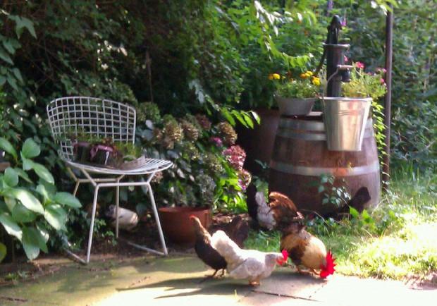Hühner und Hahn auf sonniger Terrasse