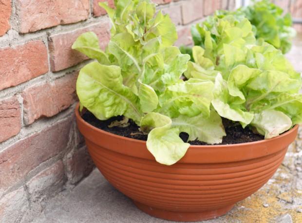 Salatpflanze in Keramikschüssel