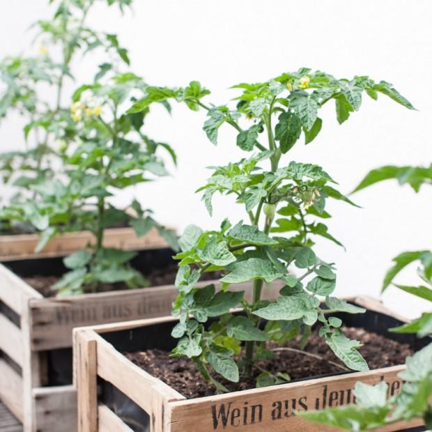 garten-tomatenpflanzen-in weinkisten