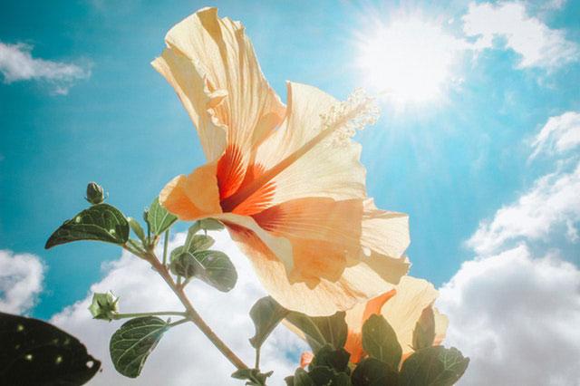Hibiskus in der Sonne