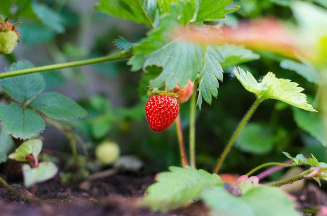 Erdbeerpflanze auf dem Balkon