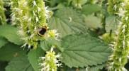 Duftnessel_Bienen
