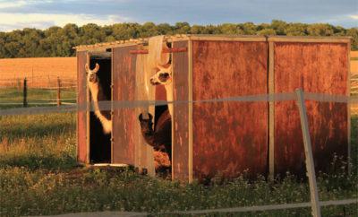 Lama und Alpaka selber halten
