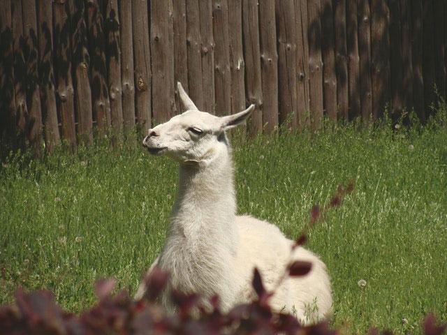 Lama auf der Weide