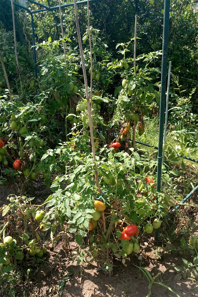 Tomaten-Stauden