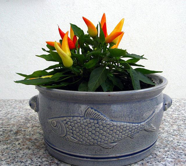 Chili im Blumentopf
