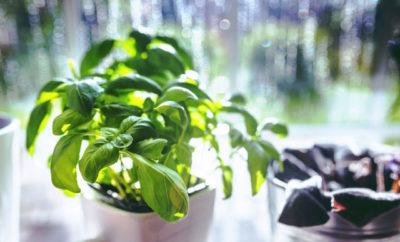 Mediterrane Kräuter selber anbauen