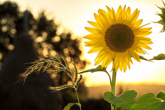 Garten Sommer Sonnenblume