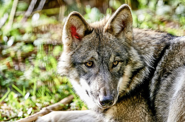Schorfheide Wolf Naturpark