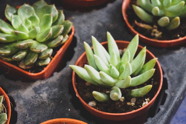 Agave selber anpflanzen
